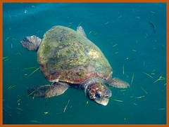 At Loggerheads (Stapleton Road) Tags: loggerhead turtle kefalonia