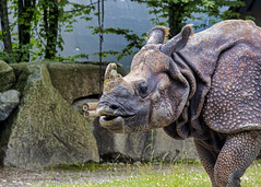 Rhinoceros (Matthew P Sharp) Tags: rhinoceros rhino zoo animal 70200 70200f4l canon 80d