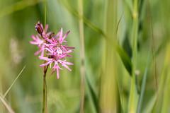 Ragged Robin (oandrews) Tags: 30dayswild canon canon70d canonuk flora flower greatfen nature outdoors petals pink plant plants raggedrobin woodwaltonfen ramseyheights england unitedkingdom gb