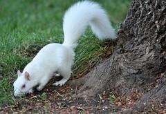 Albino Squirrels News (rabidscottsman) Tags: scotthendersonphotography squirrel albino albnoism critter whitesquirrel mn minnesota lakevilleminnesota monday geneticmutation twincities nikon nikond7100 d7100 sigma sigma150500 tree frontyard albinosquirrel