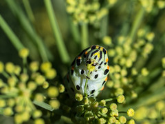 Fennel at will - Venkel (de_frakke) Tags: caterpillar rups swallowtail eating fennel eten venkel tuin garden