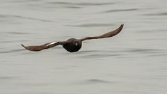Pigeon Guillemot (Bob Gunderson) Tags: birds california cepphuscolumba fortpoint largeauks northerncalifornia pigeonguillemot presidio sanfrancisco swimmingbirdsother