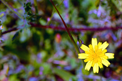 """YellowWildFlower_01 (DonBantumPhotography.com) Tags: landscapes nature wildlife flowers springwildflowers """"donbantumphotographycom"""" """"donbantumcom"""" """"nikon d800 afs micro nikkor 105mm 128g ed vr n nikonafs"""""""