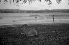 Watchful (PositiveAboutNegatives) Tags: leica rangefinder m3 vintagecamera leicam3 50mm summicron 50mmsummicrondr dualrange yellowfilter film analog foma fomapan fomapan100 bw blackandwhitefilm rodinal coolscan florida dog lab labrador yellowlab girl