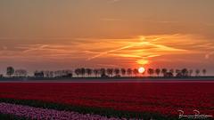 Tulip field at sunset (BraCom (Bram)) Tags: 169 bracom bramvanbroekhoven dirksland goereeoverflakkee holland nederland netherlands southholland zuidholland avond bloemen bomen cloud cottage dijk dike evening flowers frühling huisje landschap lente polder printemps redtulips rodetulpen sky spring sun sunset trees tulips tulpen widescreen wolk zon zonsondergang