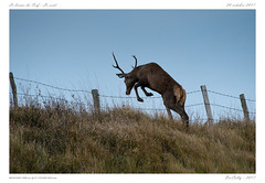 Saut d'obstacle   Jumping (BerColly) Tags: france auvergne cantal animal cerf deer brame slag bercolly google flickr