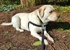 Gracie lying in the sun (walneylad) Tags: gracie dog canine pet puppy cute lab labrador labradorretriever april spring morning westlynn