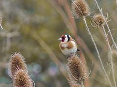 Szczygieł (Galeria A. F. Izydorczyka) Tags: poland mielno olympus jupiter bird goldfinch m42