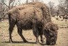 Buffalo (DJ Wolfman) Tags: buffalo oklahoma ranch olympus olympusomd em1markii 12100mmf4zuiko zuiko zd woolarocranch