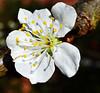 Plum Blossom (sineid2009) Tags: spring blossoms macro plum