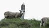 Summit Sheep (MrTheEdge7) Tags: onetreehill newzealand aotearoa auckland aucklandnz nz kiwi sheep maori northisland