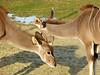 Tendresse (Raymonde Contensous) Tags: paris animaux nature parczoologiquedeparis pzp zoodevincennes grandskoudous antilope