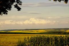 Summer colors (*KR*) Tags: saarland mandelbachtal wolken himmel clouds sky sonne sun felder fields sonnenblumen sunflowers gelb golden yellow sommer summer
