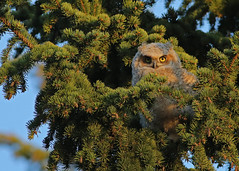Great Horned Owlet...#7 (Guy Lichter Photography - 4M views Thank you) Tags: canon 5d3 canada manitoba winnipeg wildlife animal animals bird birds owl owls owlet greathornedowl