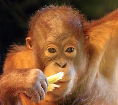 borneo orangutan Barcelona JN6A3111 (j.a.kok) Tags: orangutan orangoetan orang borneoorangutan borneo asia azie animal aap ape primate primaat mammal monkey mensaap zoogdier dier barrcelona
