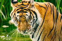 IOW Tiger Mondo (SLHPhotography1990) Tags: 2018 iow july zoo isle wight tiger rescue home loved excircus big cat content mondo wild heart wildheart trust heartsfortigers