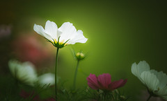 Cosmos Glow (Dhina A) Tags: sony a7rii ilce7rm2 a7r2 a7r tamron sp 350mm f56 tamronsp350mmf56 prime ad2 adaptall2 mirrorlens 06b catadioptric reflex cf tele macro cosmos glow flower bokeh