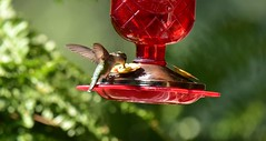 Hummingbird_1500c (Porch Dog) Tags: 2018 garywhittington kentucky nikond750 nikkor200500mm wildlife nature outdoors bird avian feathers