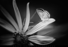 """""""The Angel of Spring"""" (KellyShipp) Tags: theangelofspring springazure celastrina argiolus butterfly macro nature spring black white nikon nikonflickraward arkansas insect insects"""