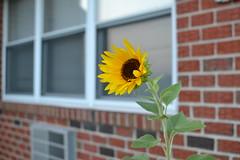 Sunflower (Das_Zaku) Tags: sunflower flower sun seeds petals 35mm nikkor d3100 nikon green plant brick window airconditioner outdoors nature 2018 summer northeast philly philadelphia northeastphilly northeastphiladelphia