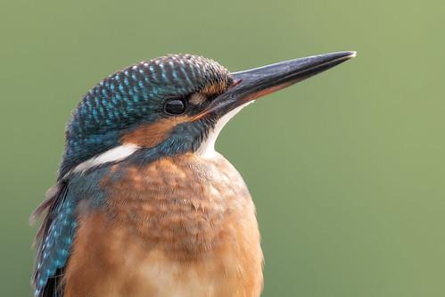 Martin pêcheur (Alcedo atthis) Kingfisher A7RIII