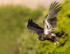 Juvenile Bald Eagle - IMG_2980 (arvind agrawal) Tags: baldeagle eagle luckier milpitas wildlife nest canon 600mm eos1dx 14x 840mm arvindagrawal
