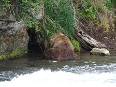 DSC07566 (jrucker94) Tags: alaska katmai katmainationalpark nationalpark bear bears grizzly grizzlybear brooksriver nature outdoors