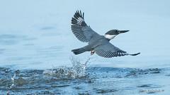 A quick dip (Earl Reinink) Tags: bird animal kingfisher fishing outdoors water nature swim blue earl reinink earlreinink nikon wildlife beltedkingfisher hoedhuidza