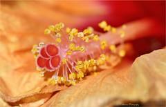 Hibiscus (Une femme ...) Tags: flower orange hibiscus pistil