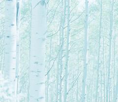 aspen (lawatt) Tags: aspen trees pale keblerpass colorado film 120 portra400 hasselblad 120mm rollfilmweek