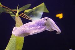 2018_Gatlinburg_0477 (bdill) Tags: ripleysaquarium cuttlefish