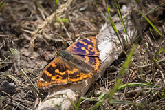 Purple + Orange (music_man800) Tags: lesser purple emperor purp apatura ilia clytie orange form butterfly male butterflies insect wildlife nature natural life light flora fauna ground perch salts log grass foret de trelon nord france clearing logs logpile ride roadtrip holiday road trip beautiful pretty sunny june 2018 canon 700d adobe lightroom creative cloud edit photography sigma 150mm macro prime lens detail sharp focus sheen blue forest woods woodland trees habitat papeur