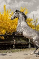 IBERICO SB (PRE) (saza.zanella) Tags: horse animals caballo cavallo pferde pre prehorse greyhorse lowlight splasheffect splash flowers yellow yellowflowers spring nature show photo photography explore inexplore