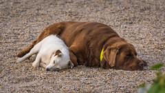 Le repos des guerriers (pascal548) Tags: chien