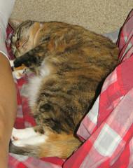 Gracie 6 July 2018 0071Ri (edgarandron - Busy!) Tags: gracie patchedtabby cat cats kitty kitties tabby tabbies cute feline