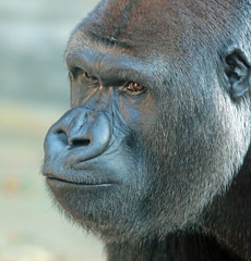 western lowlandgorilla Nasibu Blijdorp JN6A5973 (j.a.kok) Tags: gorilla westelijkelaaglandgorilla westernlowlandgorilla lowlandgorilla laaglandgorilla animal africa afrika aap ape nasibu mammal monkey mensaap zoogdier dier blijdorp