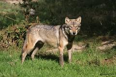 Loup européen (Passion Animaux & Photos) Tags: loup europeen european wolf canis lupus parc animalier saintecroix france