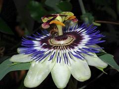 Passiflora (libra1054) Tags: passiflora passionflower fioredellapassione blumen flores fiori flowers fleurs flora macro closeup nature