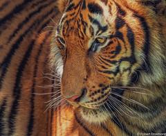 Catching Light (Robert Streithorst) Tags: cincinnatizoo robertstreithorst tiger zoosofnorthamerica bigcat