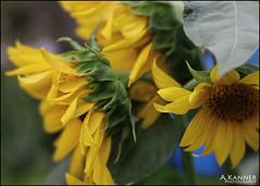 Yellow... (angelakanner) Tags: canon70d lensbaby velvet56 garden longisland yellow closeup