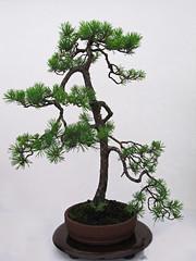 Bonsai - RWS 2018 (Lark Ascending) Tags: tree bonsai conifer small pot plant royalwelshshow 2018