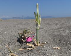 Life (MinifigNick) Tags: dinosaur lego beach sand water dino minifignick minifig minifigure wateringcan