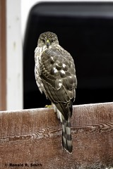 "_DEF2995 (854x1280) (""Hass"" to ""Digital"") Tags: canon 300mmf28 7dmkii hawk bird 14extender"