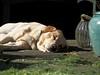 16/52 Sunbathing (MairéadNiRodaigh) Tags: labrador 52 weeks for dogs