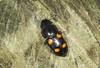 Sap Beetle - Glischrochilus hortensis (Prank F) Tags: woodwaltonfen greatfen wildlifetrust huntingdonuk wildlife nature insect macro closeup beetle sap glischrochilushortensis
