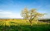 Spring (Konsti.) Tags: bötzingen kaiserstuhl wein wine vineyard sommer summer sonne sun spring frühling baum tree landschaft landscape natur nature green blue yellow blossom