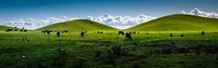 Green Pastors (Charlie Day DaytimeStudios) Tags: california cattle cloudy fremontca hill hillside light sanfranciscobayarea vargasplateau winter