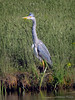 "Sentinel (""DavidJHiom"") Tags: bird heron davomphotos river wetland saarlysqualitypictures davidjhiom hiom lovelyflickr niceasitgets photographers photographicworld simplythebest thebestshot waterlife vividstriking photomix galaxy wildlife rspb"