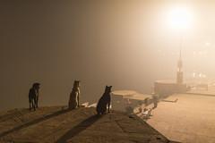 At Varanasi (Ravikanth K) Tags: 500px varanasi dogs light fog shadow pet ghat kasi ganga travel animals domestic watching outdoor earlymorning cwc cwc623 chennaiweekendclickers street streetlight