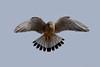 20180211-018.jpg (Le Sartois) Tags: crécerelle vol stationnaire ailes